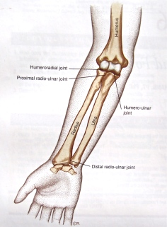 An elbow joint showing all 3 joints.